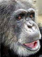Cheetah the Chimp of Tarzan (1931-2011).jpg